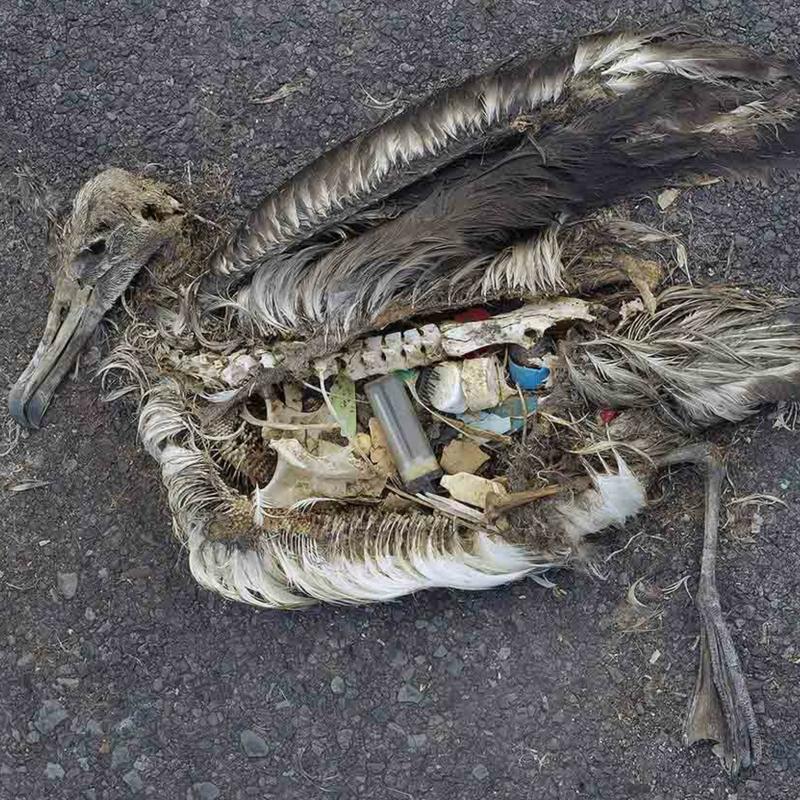 Aves que se alimentam de animais marinhos estão entre as grandes afetadas pelos plásticos no oceano
