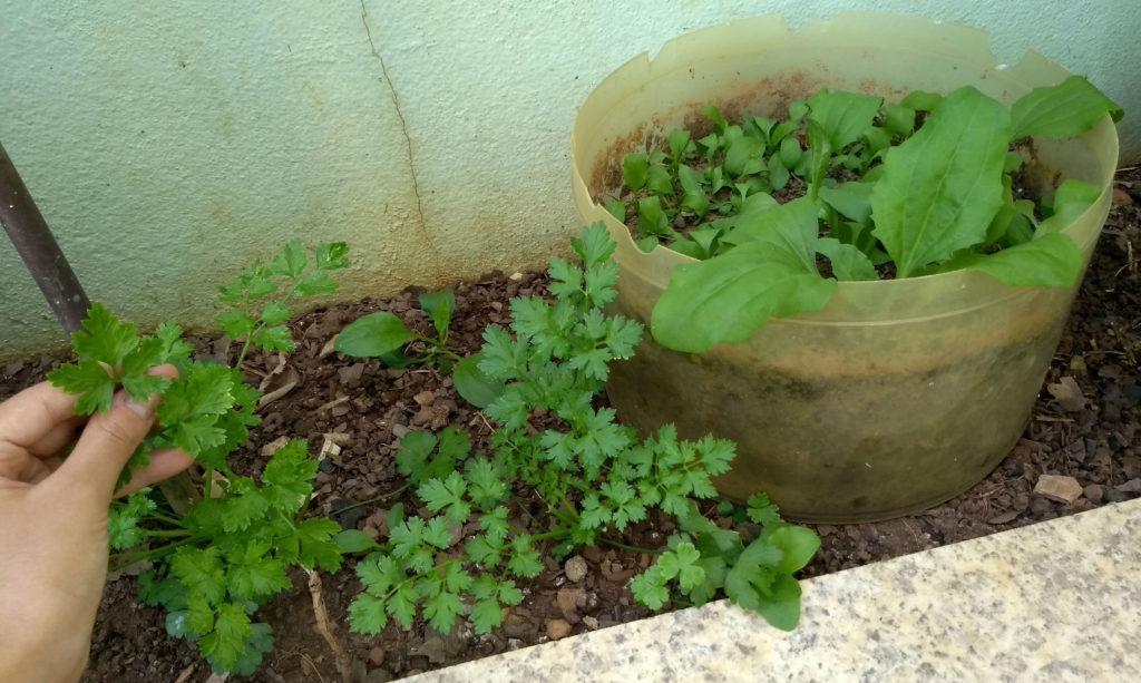 Plantar hortaliças ou verduras em casa, mesmo que em vasinhos, já pode trazer mais versatilidade e praticidade para nossa alimentação, além de reduzir as compras de supermercado.