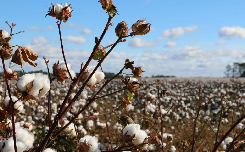Além de sua produção para a moda, rolos e rolos de algodão precisam ser produzidos para suprir a demanda da indústria de beleza